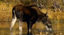 Moose Cow Forages In Pond As Ducks Enter And Exit Frame