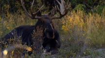 Bull Moose Moves Head And Legs In Bug Infested Brush During Rut