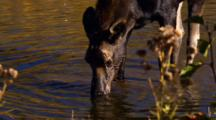 Moose Calf Forages In Pond