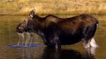 Moose Cow Forages In Pond Up To Eyes In Water