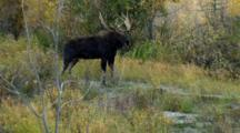 Bull Moose Stands In Brush During Rut