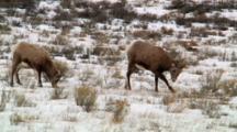 Bighorn Sheep Ewe Paws Snowy Ground For Food