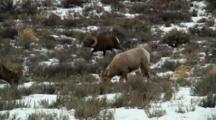 Bighorn Sheep Ram Shows Horns To Competing Rams During Rut