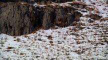 Bighorn Sheep Ram And Ewe Mate
