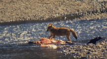 Watchful Coyote And Raven Eat Elk Carcass In Yellowstone National Park