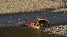 Watchful Coyotes Tear At Elk Carcass In Yellowstone National Park