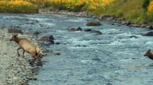 Elk Cow Navigates Swift Rocky River