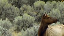 Elk Cow Hears Bugling And Responds Vocally