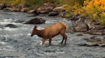 Elk Cow Stumbles While Navigating Swift River