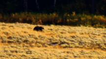 Grizzly Bear Runs Toward Kill