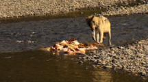Gray Wolf Tears Ear Off Elk Carcass In Yellowstone National Park
