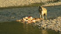 Gray Wolf Gnaws On Elk Carcass And Looks Around In Yellowstone National Park