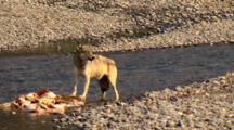 Gray Wolf Braces And Tears At Elk Carcass In Yellowstone National Park