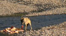 Gray Wolf Rips And Tears Bloody Elk Carcass Parts In Yellowstone National Park