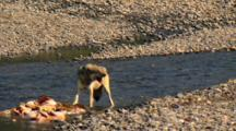 Gray Wolf Chomps On Elk Carcass Parts In Yellowstone National Park