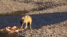Gray Wolf Braces And Aggressively Tears At Elk Carcass In Yellowstone National Park