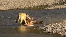 Gray Wolf Feasts On Elk Carcass In Yellowstone National Park