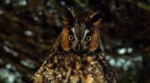 Long-Eared Owl Nictating Membrane Visible On Golden-Orange Eyes