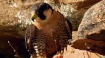 Juvenile Peregrine Falcon Rests With Prey At Feet