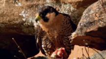 Juvenile Peregrine Falcon Guards Bloody Prey At Feet