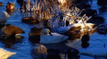 Trumpeter Swan Rests Amidst Waterfowl