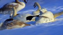 Trumpeter Swans Stretch Leg, Rest With Beaks Tucked Into Downy Feathers