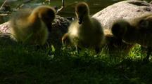 Canada Geese Goslings Feed In Grass Near Water