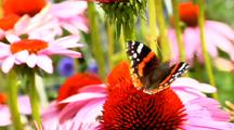 Butterfly American Snout On Bright Star Coneflower