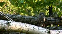 Barred Owl Raptor On Log On Ground