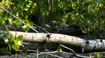 Barred Owl Raptor On Log On Ground Turns Head