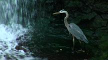 Great Blue Heron Hunts In Waterfall