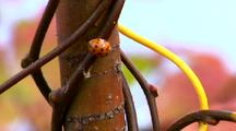 Ladybug Climbs On Colored Vines - Beetle