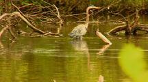 Great Blue Heron Walks In Pond
