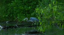 Great Blue Heron Stalks Prey In Lush Green Pond