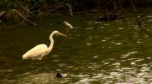 Great White Egret Hunting In Water