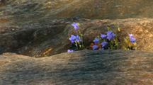 Harebell Bluebell Flower Cluster On Lake Superior North Shore Rock