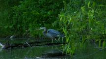 Great Blue Heron Hunts Prey Squirms In Lush Green Pond