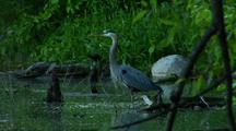 Great Blue Heron Hunts In Lush Green Pond Crow Walks Into Frame