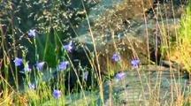 Harebell Bluebell Flower On Lake Superior North Shore Rock
