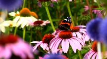 Butterfly American Snout And Bee On Bright Star Coneflower
