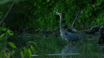 Great Blue Heron Hunts In Lush Green Pond Area