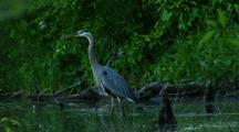 Great Blue Heron Hunts Flies Away From Lush Green Pond