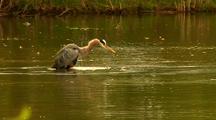 Great Blue Heron Grooms Splashes