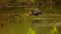 Great Blue Heron Bathes In Water Scratches Shakes Wings