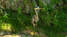 Great Blue Heron Stands On Rock