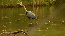 Great Blue Heron Walks In Water Vocalizes