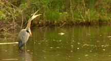 Great Blue Heron Vocalizes In Water