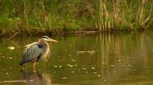 Great Blue Heron Grooms