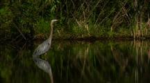 Great Blue Heron Stands In Pond Water Reflection Calm Water