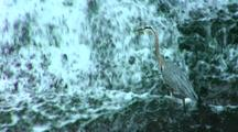 Great Blue Heron Hunts In Waterfall